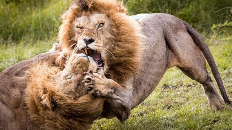 Rumble In The Jungle! Lion Caught In Headlock In Battle For Supremacy Image
