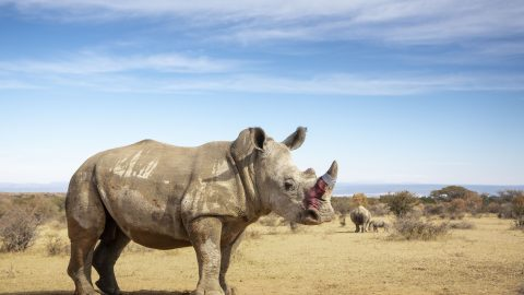 Rhinos undergo horn devaluation in bid to save their lives Image