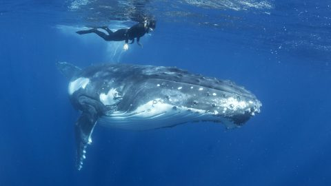 Whale hello there! Massive whale hangs out with diver Image