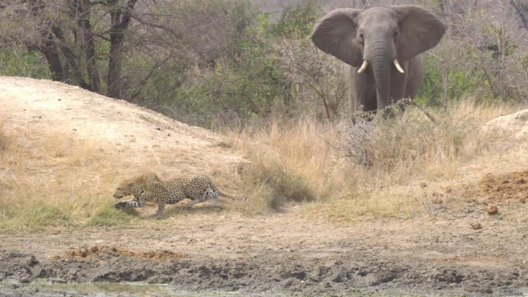 Heroic Elephant Chases Off Unlucky Leopard While Stalking Impala Dinner -  Storytrender