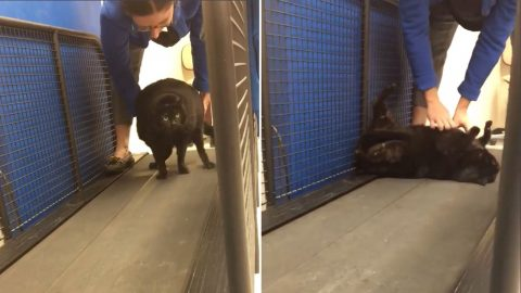 Kitty got floored! Fat cat plays dead during exercise class to avoid working out Image