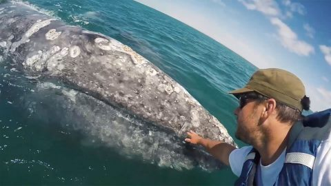 Friendly grey whale calf approaches boat so passenger can pet it Image