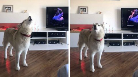 Paw-varotti: Tuneful Husky Loves Singing Along To Opera Songs Image
