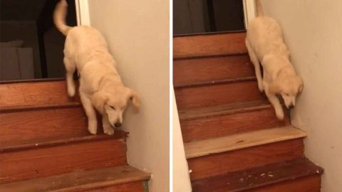 Six-month-old Puppy Bounces Downstairs After Learning How To Climb Down From Three-legged Brother Image