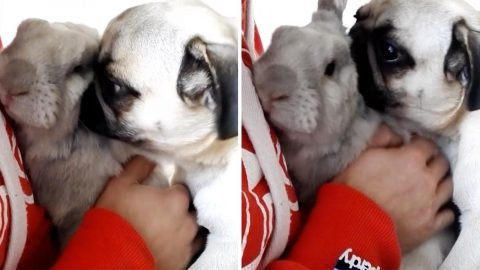 Pugs And Kisses! Needy Pug Wants Attention From Family Rabbit And Owner Image