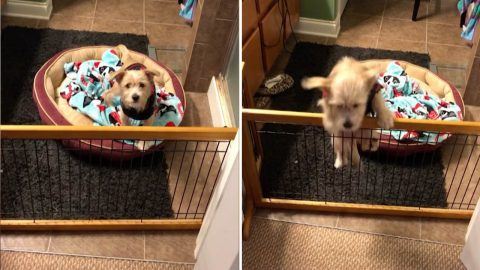 Adorable puppy clambers over fence to get to foster mum before bedtime Image