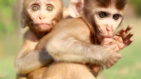 Adorable Monkey Babies Orphaned After Their Mothers Died Are Inseparable Image