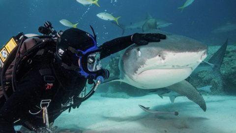 The Shark Whisperer! Incredible Footage Of Man Pets Sharks As If They Were Dogs Image