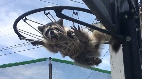 Animal Rescuers Save Baby Raccoon Trapped In Basketball Net Image