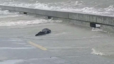 See 'ya Later Alligator: Storm Barry Causes Wild Alligator To Be Washed On To City Boulevard Image