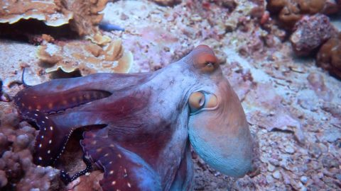 Crafty Octopus Changes Colour At The Drop Of A Hat To Camouflage Against Background Image