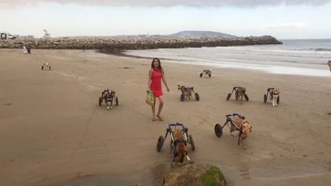 Heartwarming moment disabled dogs experience running on beach for first time Image