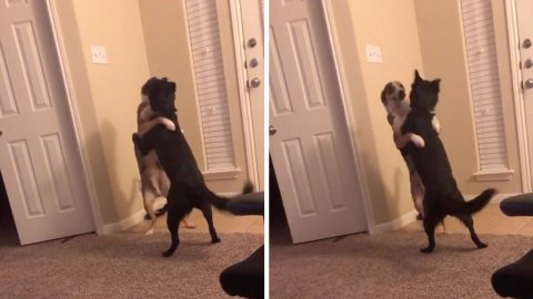 Two dogs hug each other like they haven't seen each other in ages Image