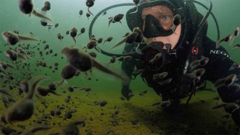 Mesmerizing Moment Scuba Diver Swims With Hundreds Of Tadpoles Image