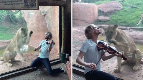 Violinist Attempts To Serenade Lioness But She Leaps At Zoo Glass Image