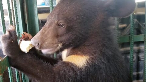 UN-BEAR-ABLE CRUELTY: FIVE ADORABLE BEAR CUBS GIVEN SECOND CHANCE AT LIFE AFTER MEAT TRADE RESCUE Image