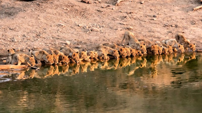 ALL TOGETHER NOW – PRIDE OF LIONS DRINK TOGETHER FROM THE SAME WATERING HOLE Image