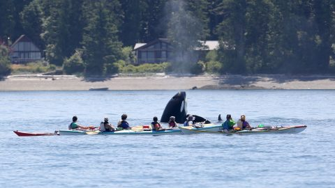 KILLER SHOT – ORCA BREACHES NEXT TO GROUP OF KAYAKERS Image