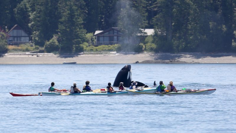 KILLER SHOT - ORCA BREACHES NEXT TO GROUP OF KAYAKERS Image
