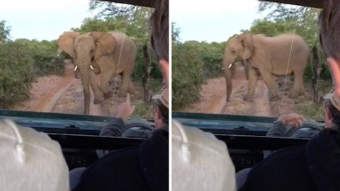 THE ELEPHANT WHISPERER: INCREDIBLE MOMENT SAFARI GUIDE STOPS WILD ELEPHANT IN ITS TRACKS BEFORE SHOOING IT AWAY Image