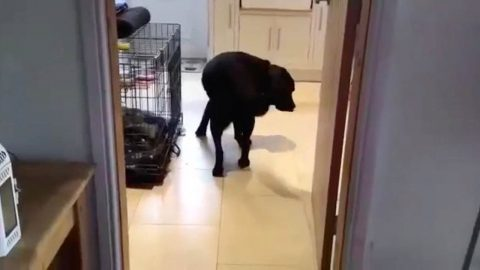 QUIRKY DOG ONLY WALKS BACKWARDS THROUGH DOORWAYS Image