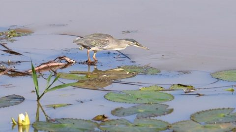 CATCH OF THE DAY! INTELLIGENT HERON USES BAIT FISH FOR AN EASY CATCH Image