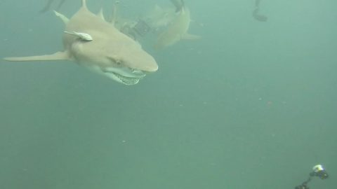 FAR FROM SNOOTY: SHARK NAMED SNOOTY FLASHES TOOTHY GRIN AT DIVER Image