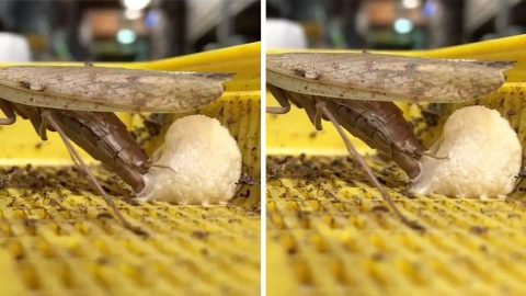 FASCINATING CLIP SHOWS EXPECTING MANTIS PROTECTING HER EGGS WITH A HARDENING FOAM Image