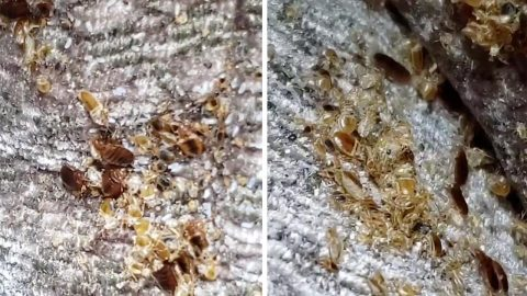 PEST CONTROL SERVICE DISCOVERS CREEPY CRAWLIES HIDDEN AWAY IN ARMCHAIR IN SKIN CRAWLING VIDEO Image