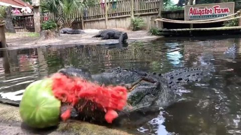 MASSIVE ALLIGATOR GOES VEGETARIAN BY CRUSHING GIANT WATERMELON IN ONE TERRIFYING BITE Image