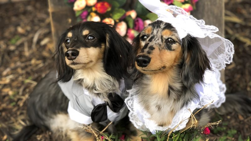 ADORABLE PUP MARRIES THE LOVE OF HIS LIFE Image