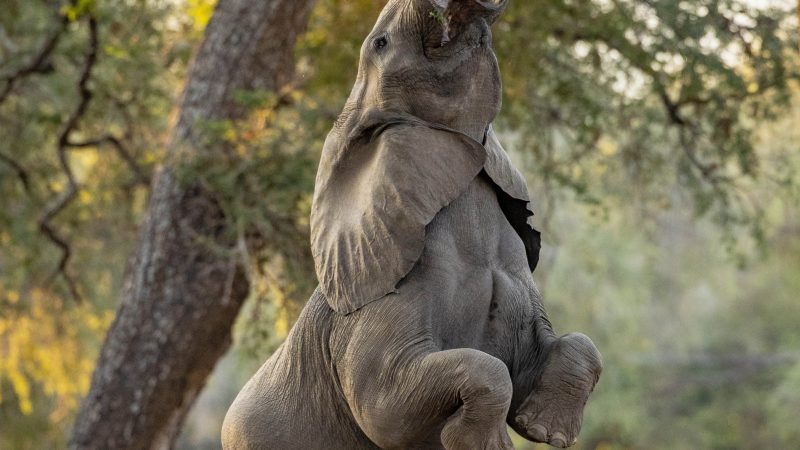 INCREDIBLE PHOTOS SHOW ELEPHANT STANDING UP FOR A BITE TO EAT Image