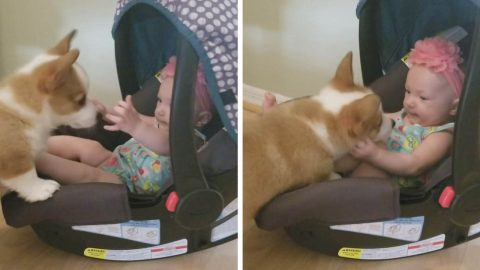 CORGI PUPPY AND SIX-MONTH-OLD BABY MEET FOR FIRST TIME AND INSTANTLY FALL IN LOVE Image