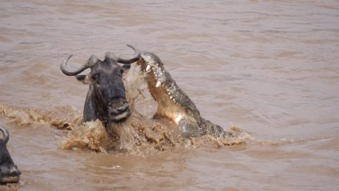 CROC CLOSE CALL: LUCKY WILDEBEEST NARROWLY ESCAPES CROCODILE'S JAWS Image