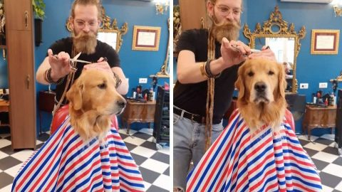 JUST A LITTLE OFF THE TOP: DOGGO SITS PATIENTLY AS RECEIVES FUR CUT FROM BARBER Image
