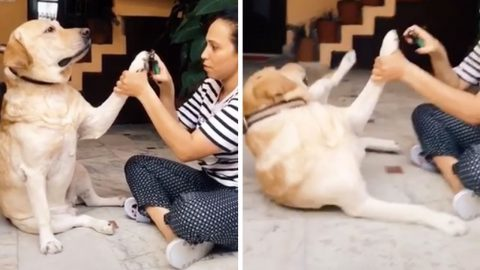 DRAMATIC DOG PRETENDS TO PASS OUT WHEN OWNER CLIPS ITS NAILS Image