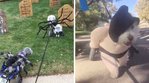 EIGHT LEGGED DOGS – HILARIOUS OWNER PIMPS DOGS WHEELCHAIRS FOR HALLOWEEN Image
