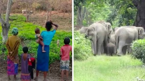 INDIAN FARMER CREATES JUNGLE FOR ELEPHANTS NEXT TO HIS TEA GARDEN Image
