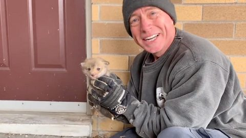 FANTASTIC MR FOX RESCUER: WILDLIFE CONTROL PROFESSIONAL RESCUES ADORABLE FAMILY OF FOXES Image