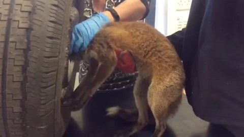 MOMENT CURIOUS FOX CUB IS FREED BY VETS AFTER GETTING HEAD STUCK IN A WHEEL Image