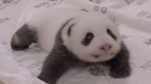 PANDA TWINS SNUGGLE DOWN IN GIANT COSY CRIB BUILT ESPECIALLY FOR THEM Image