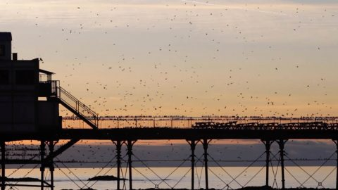 SPECTACULAR STARLINGS DART AND DANCE DURING A BEAUTIFUL SUNSET Image