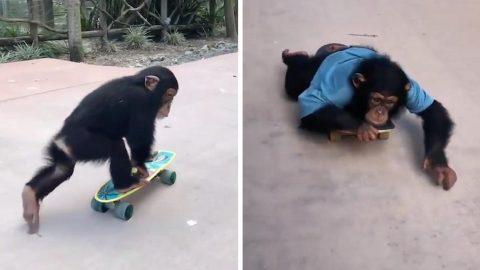 PLAYFUL RESCUE CHIMPANZEE GOES MONKEYING AROUND ON SKATEBOARD Image