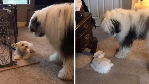 LITTLE AND LARGE DOGS LOVE TO PLAY TOGETHER IN ADORABLE VIDEOS Image