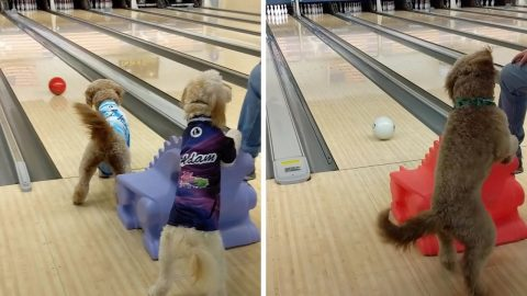 A PAWFECT STRIKE! ADORABLE GOLDENDOODLE PAIR GIVE NEW MEANING TO DOG BOWL BY MASTERING TEN PIN LANES BECOMING BOWLING PRODIGIES Image