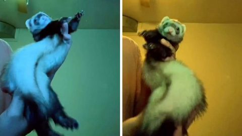 PET OWNER HELPS FERRET DANCE IN HILARIOUS VIRAL VIDEOS Image
