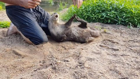 LAZARUS THE RESCUED OTTER RISES FROM THE ASHES AFTER REHABILITATION Image