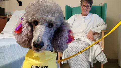PINK POODLE HELPS PUT SMILE ON HOSPITAL PATIENTS FACES AFTER TRAINING AS THERAPY DOG Image