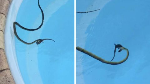 HOMEOWNER STUNNED AFTER SNEAKY SNAKE GRABS LIZARD AND MAKES CRAFTY ESCAPE FROM SWIMMING POOL Image
