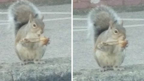 HUNGRY SQUIRREL GOES NUTS FOR CHICKEN WING WHILE SAT ON KERB Image